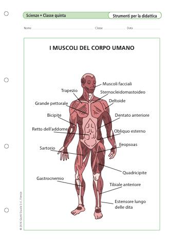 I Muscoli Del Corpo Umano La Vita Scolastica