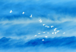 cielo stormo uccelli natura